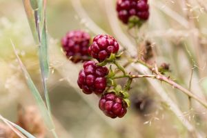 :: Raspberries :: by AmyranthPhotography