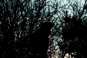 Silhouette of a Brown Bear by moose30