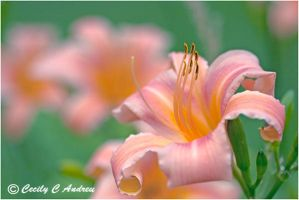 Ever Lasting Daylily by CecilyAndreuArtwork