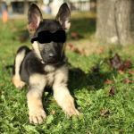 HOT German Shepherd Puppy!! by cute-stars