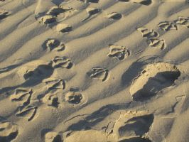 Webbed Footprints in the Sand by ambergerr