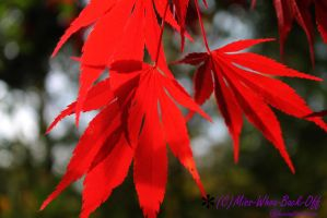 Scarlet Leaves by Miss-Whoa-Back-Off