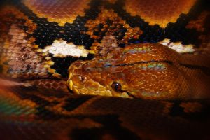 Reticulated Python by S-H-Photography