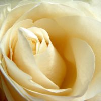 White Rose 02 by s-kmp