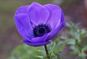 Blue Anemone Flowering by Firey-Sunset