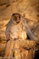 Barbary Macaque by amrodel