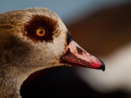 Egyptian Goose - Feb 12 by mszafran