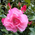 Delicious Pink Rose by Jenvanw