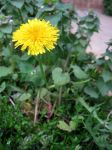 Dandelion 2 by CelticStrm-Stock by CelticStrm-Stock