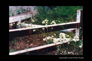 Fence Flowers by Sombraluz-Images