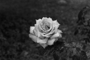 Rose by DionysosBacchus