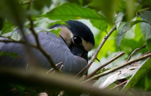 Mother Boat Billed Heron by invisiblelife