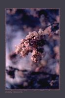 Cherry Blossoms by fragilemuse-org