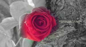 Rose ART by RazielMB-PhotoArt