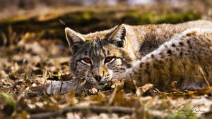 lynx by PhotographyChris