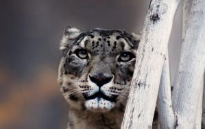 Snow Leopard by wehadafallingout