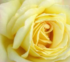 Yellow Living Rose by FilipR8