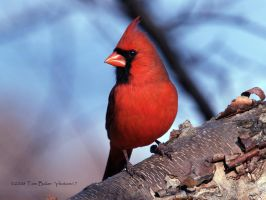 the cardinal king by photom17