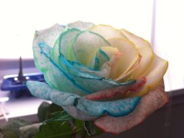 Rainbow Rose by williamdaros