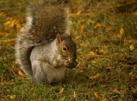 Eastern Gray Squirrel - 2 - 2013 by toshema