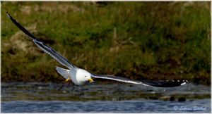 Great Black Backed Seagull VI by lukias-saikul