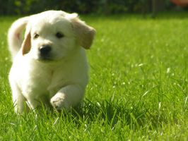 BABY - eesquiree by goldenretrieverfans
