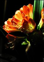 Lucent clivia by unusualPhoto