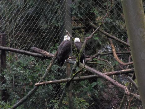Bald Eagles-2 by Pikachuluva