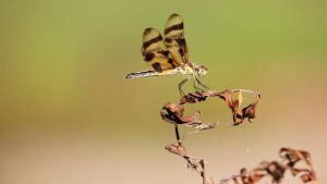 Tiger-Striped Dragonfly by fractalfiend