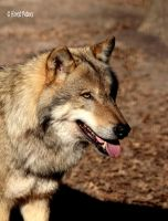 Europaeischer Grauwolf / European Graywolf 21 by bluesgrass