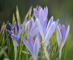 crocuses in the garden by SvitakovaEva