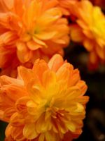 Fall Mums XXVIII by TriciaStucenski