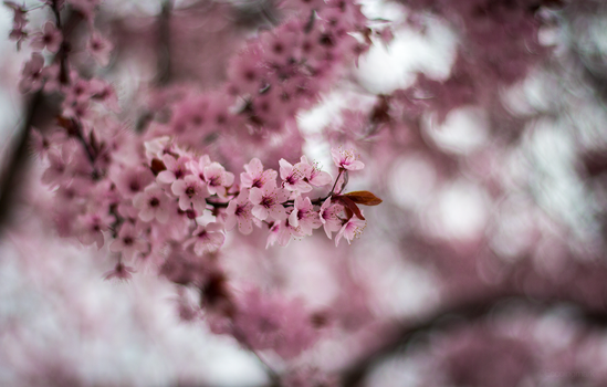 Cherry Blossom by EccoingMark