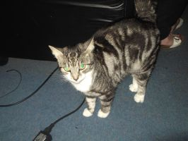 Tabitha the tabby cat 15 by FFDP-Korpiklaaniguy