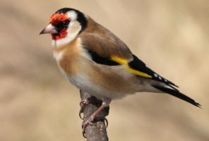 DSC03880ps Goldfinch, Arundel by VIRGOLINEDANCER1