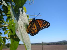 Viceroy Butterfly 2 by clarinetplayer