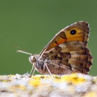 Kind of Satyridae butterfly by Jorapache