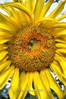 Sunflower III by Passion4Photos