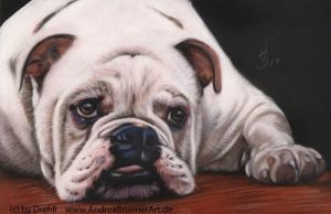 english bulldog by Drehli
