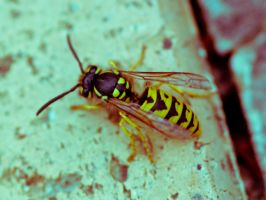 wasp. by thespook