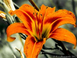 Orange Belladonna Lily by RJShewmake
