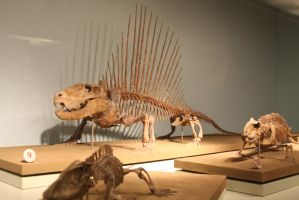 Dimetrodon at the Chicago field museum by Melusine-Designs