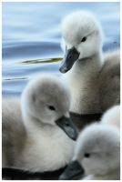 swan chicks by duch-person
