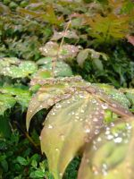 Rain Drops on Leaves 04 by Tech-Dave