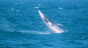 The Minke Whale by WilliamJCovello