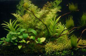 planted aquarium with thalictroides and anubias by Ivixx