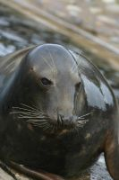 Seal 5 by Ariaocstock