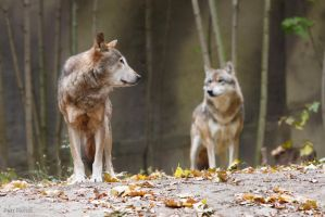 Wolf pack by Tygrik