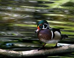 Wood Duck Drake Resting by SteelCowboy