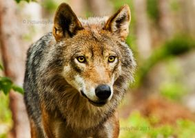 The Piercing look of a Wolf by PictureByPali